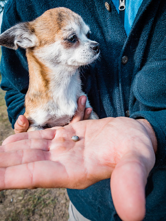 The tick engorged with blood moves on the man hand close up, swollen tick stirs in the palm of a man removed from the dog