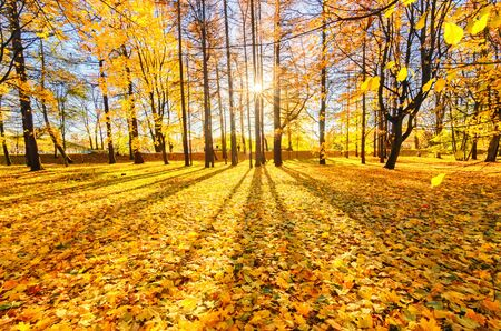 Golden foliage in the autumn park Elagin Island. The sun is hiding in the trees. The suns rays fall on the yellow foliage of golden maples. . Beautiful autumn background