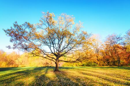 Big tree with golden foliage in the middle of the meadow in the autumn park Elagin Island. The sun is hiding in the tree. The suns rays fall on the yellow foliage of golden maples. . Beautiful autumn background