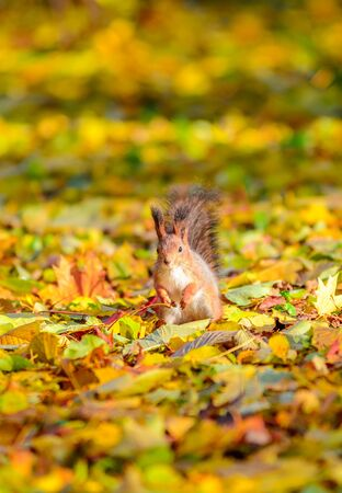 Portrait of cute squirrel sitting on the ground among the many fallen yellow maple leaves in the autumn park in St Petersburg