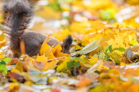 Squirrel tail sticking out from many fallen yellow maple leaves in the autumn park. Fluffy squirrel searches for food under fallen leaves in the autumn forest