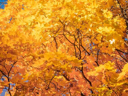 Yellow tops of autumn maple trees with autumn golden leaves against the blue sky in day of fall - autumn background bottom view