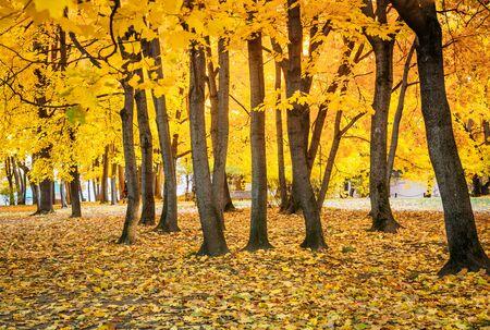 Orange yellow maple foliage in the autumn park Izmailovo. Beautiful autumn background.