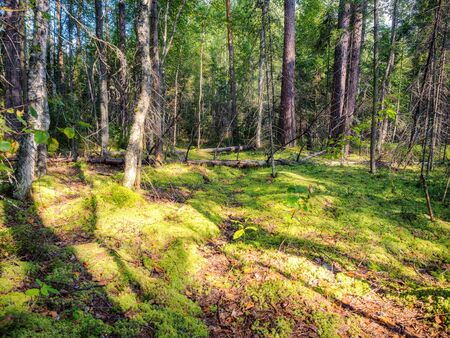 Sunny european forest. View inside of the forest on the trees. Green moss in the forest Stok Fotoğraf