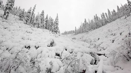 Winter forest snowy taiga hills Beautiful beautiful nature of Russia. Taiga forest in winter. Frosty snowy overcast weather