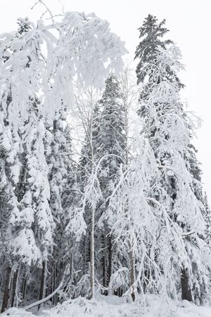 Winter forest snowy taiga hills Beautiful beautiful nature of Russia. Taiga forest in winter. Frosty snowy overcast weather.