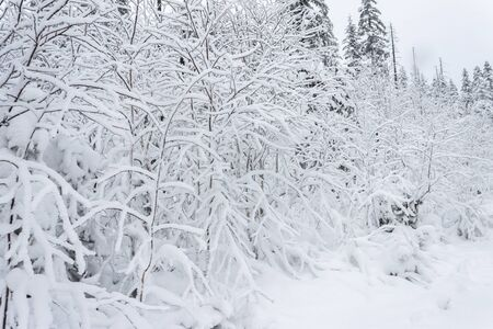 Winter fary forest snowy taiga hills Beautiful beautiful nature of Russia. Taiga forest in winter. Frosty snowy overcast weather