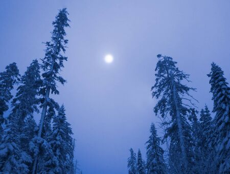 Blue mystical forest at night fool moon on the sky. Winter evening forest snowy taiga. Beautiful nature. Taiga forest in winter. Frosty snowy overcast weather