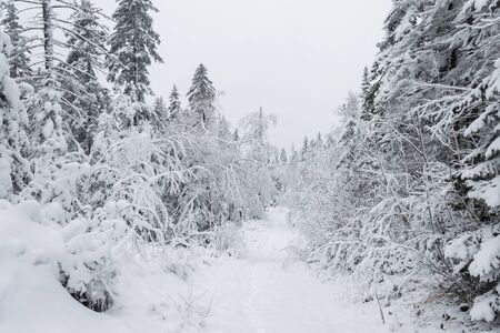 Snowy road in the wild forest. Fairy winter forest snowy taiga Beautiful nature of Russia. Taiga forest in winter. Frosty snowy overcast weather Фото со стока