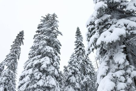 Winter forest snowy taiga. Tops of conifers. Beautiful nature of Russian Siberia. Taiga forest in winter. Frosty snowy overcast weather