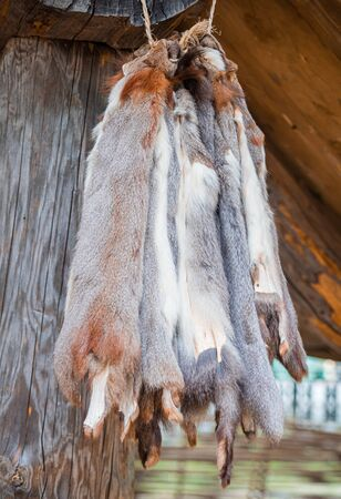 Squirrel skin hang on a on the porch of the wooden log house. Hunting and fur harvesting. Animal peltry.