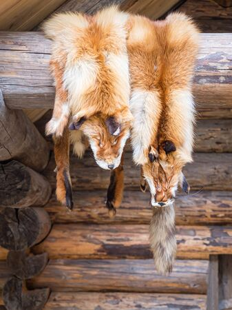 Two fox skin hang on a on the porch of the wooden log house. Hunting and fur harvesting. Fox peltry.