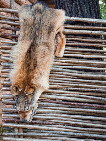 Wolf skin hang on a fence of rods. Hunting and fur harvesting. Wolf peltry.