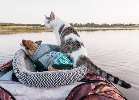 Domestic cat and dog best friends enjoys freedom outside the house on fishing with owners in the early morning in nature. Pets fishing on the inflatable boat on the river. A brave cat staing and little chihuahua doggie sleeps on the board of inflatable kayak rests together with its owners in the summer on the river. Leisure with pets outdoors Фото со стока