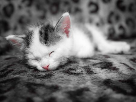 A cute little kitten sleeps in a new house on a spotted leopard color plaid. Cute sleeping kitty