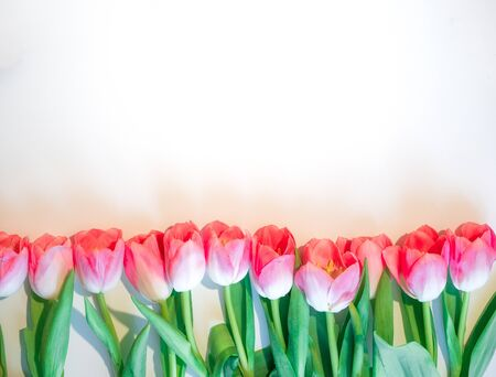Pink flowers white background. Flower rose tulip in a row. Flat lay mock up, top view.