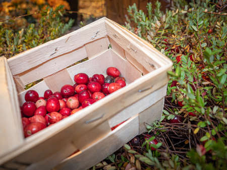 Large lingonberries in a wooden basket are located on top of green foliage. Fresh cranberry harvest