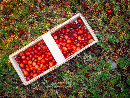 Large lingonberries in a wooden basket are located on top of green foliage. Fresh cranberry harvest top view Фото со стока