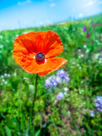 A bright red poppy flower bloomed in the field. A close-up of a poppy flower on a background of green grass