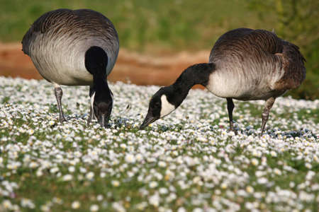 Two geese eating grass and little white flowers