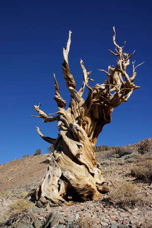 Strange shaped world oldest tree, methuselah Stock Photo