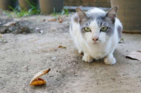 Cute straight face white gray cat Stock Photo