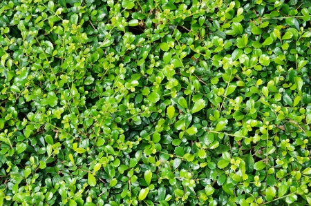 Texture of many green small leaves