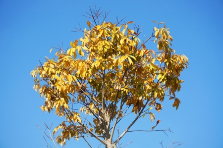 Yellow dry tree with blue sky Stock Photo