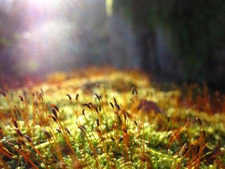esporas: Moss Spores