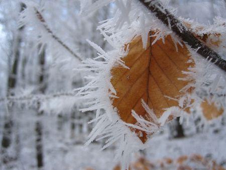hoary: hoary leaf Stock Photo