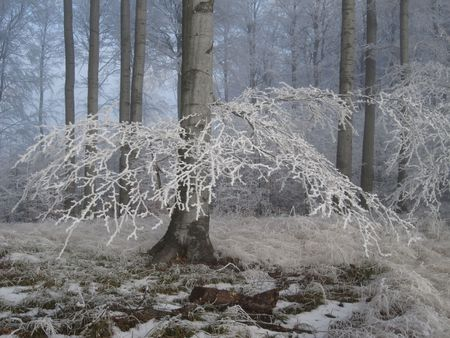 hoary: winter forest