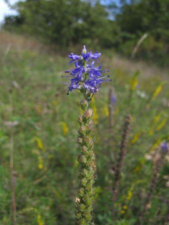 windflower: windflower Stock Photo