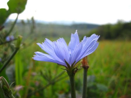 windflower: blue windflower