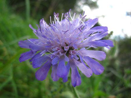 windflower: purple windflower