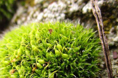 dewy: Dewy moss Stock Photo