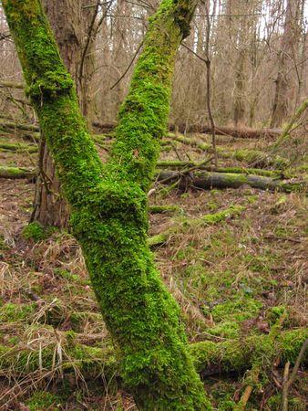 putrefy: mossy tree