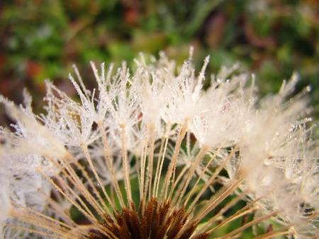 frosty: frosty dandelion Stock Photo
