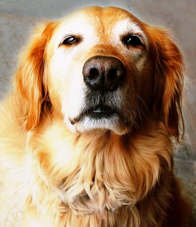 Golden Retriever Face