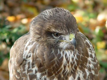 Buzzard II(Buteo buteo) photo