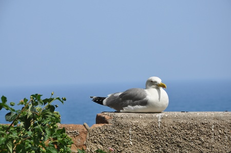 larus: Yellow-legged Gull - Adult