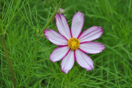 Garden Cosmos (Cosmos Bipinnatus) photo