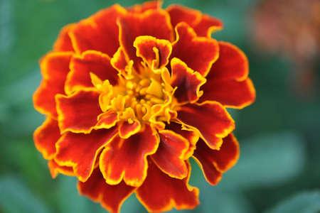 patula: French Marigold (Tagetes Patula)