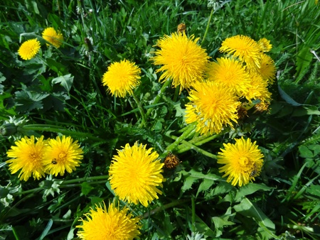 taraxacum: Dandelion Cluster (Taraxacum officinale) Stock Photo