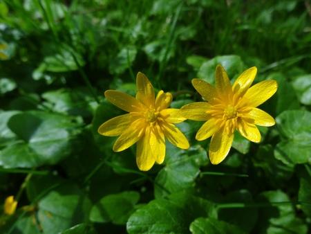 Lesser Celandine (Ranunculus Ficaria)                                photo