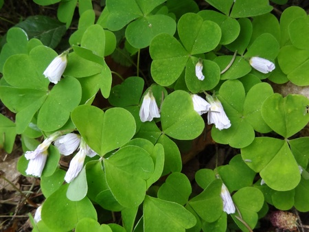 Common Wood Sorrel (Oxalis Acetosella)                               photo