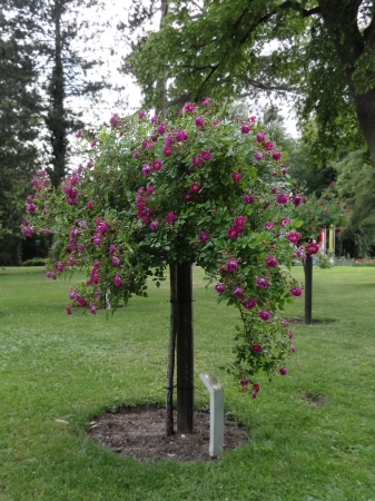 rose-bush: Rosebush w Parku