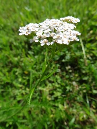 Blooming Common Yarrow (Achillea Millefolium)                                photo