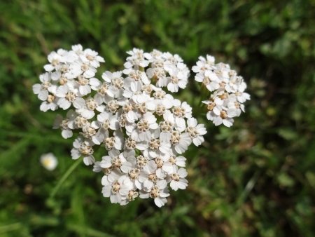 Common Yarrow (Achillea Millefolium) in bloom photo