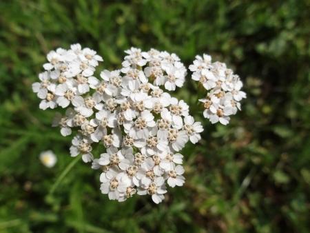 temperate region: Common Yarrow (Achillea Millefolium) in bloom