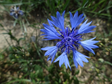 Cornflower (Centaurea cyanus) Stock Photo - 15140595